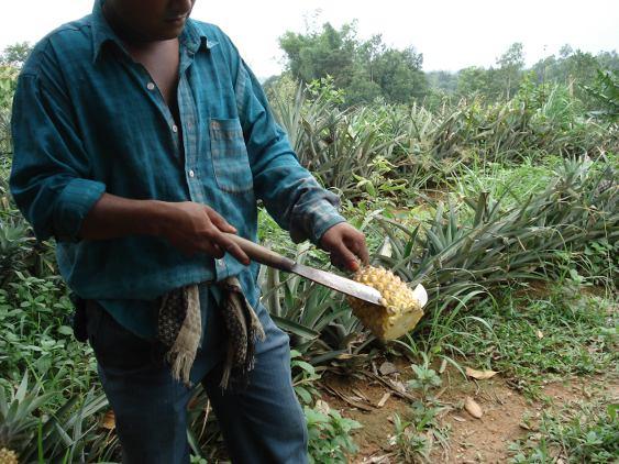 090526_ananaszubereitung