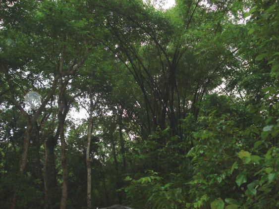 Regenwald bei Srimangal